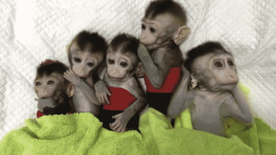 Mental illness formed in the lab, China cloning monkeys for future human customers